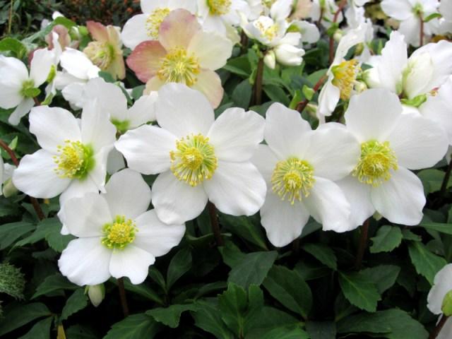 Helleborus niger Flores Navideñas