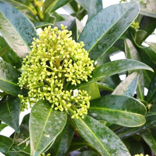 skimmia-x-confusa-kew-green-flores-de-navidad
