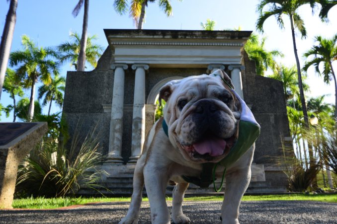 Fallece Tarzán la famosa mascota de la UPR en Mayagüez
