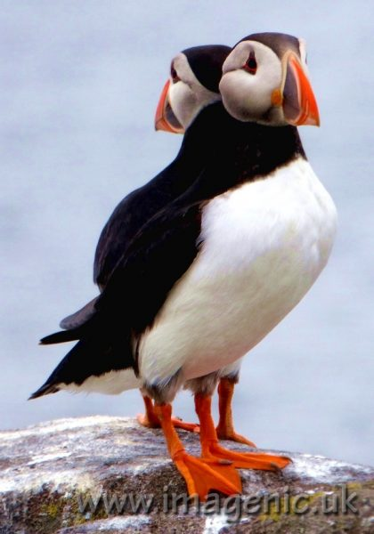 Two puffins back to back, looking #AsOne