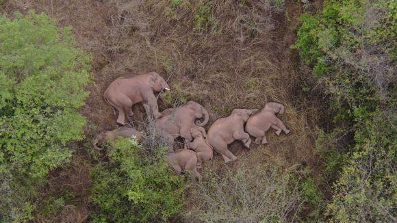 Vídeo | A inexplicável viagem de 15 elefantes selvagens pelo sudoeste da China