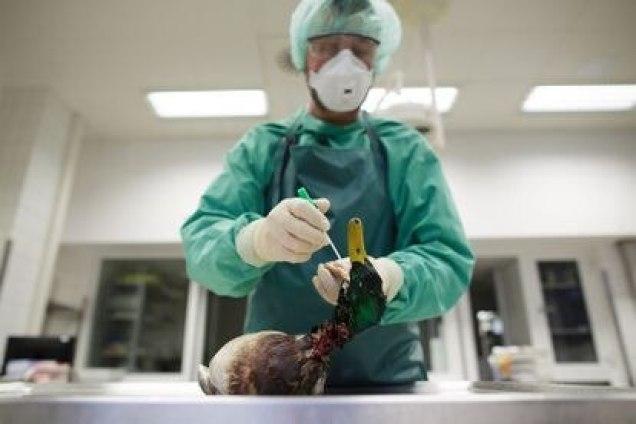 Uma cientista pega amostras de um pato silvestre em um laboratório de Rostock (Alemanha), após um surto de H5N8 em 2014.