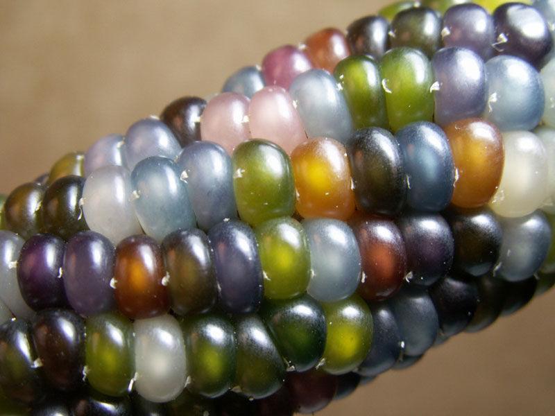 Uma verdadeira festa para os olhos: o milho arco-íris 03