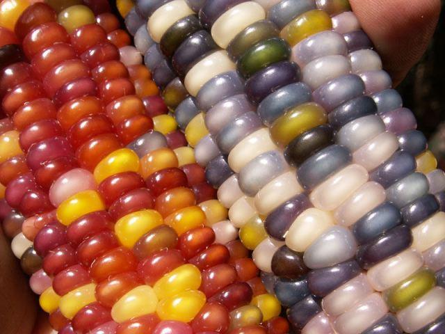 Uma verdadeira festa para os olhos: o milho arco-íris 10