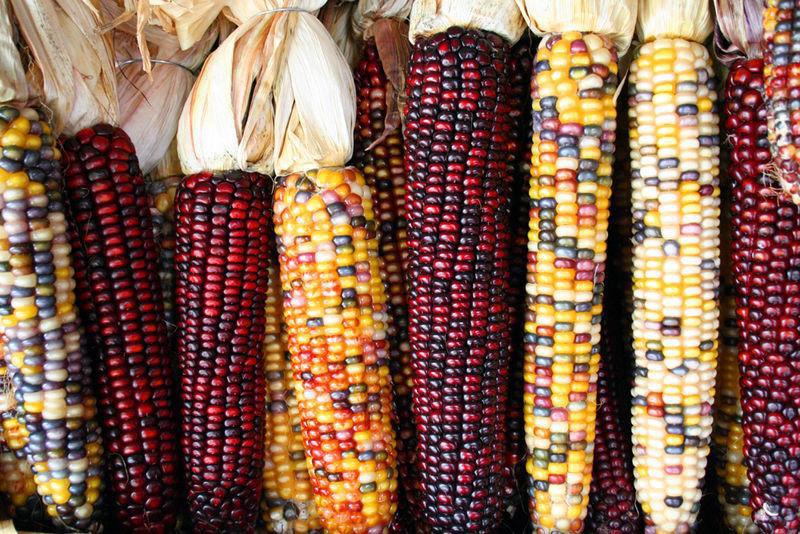 Uma verdadeira festa para os olhos: o milho arco-íris 12