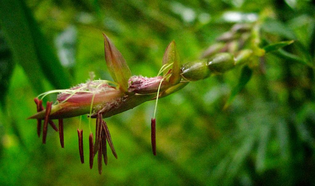 Conhece o misterioso fenômeno da florescência do bambu? 07