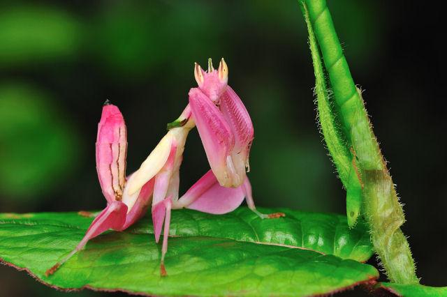 O fascinantes louva-a-deus orquídea que imita flores para atrair as presas