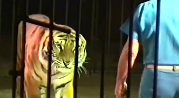 tigre748 - ATAQUE MORTAL: Domador é morto por tigres durante treinamento