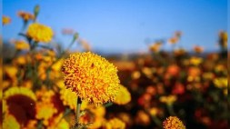 Conoce la romántica y trágica leyenda de las flores de cempasúchil