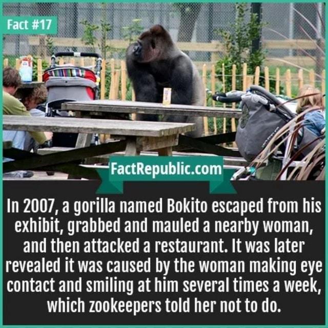 in 2007 a gorilla named bokito escaped