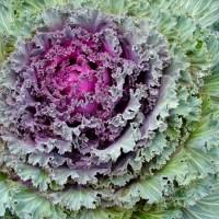 Kale Rose