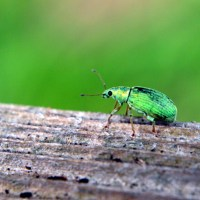 Little Green Bug