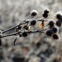 Frosty Burdock