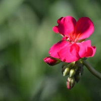 Single Geranium Blossom