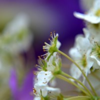 White Spirea and Purple