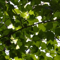 Green Canopy