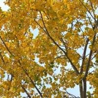 Cottonwood Yellow
