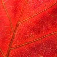 Red Maple Macro
