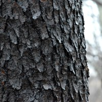 Black Cherry Tree Trunk