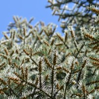 Brilliant Spruce