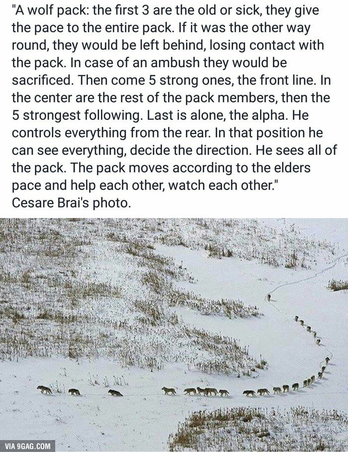 How A Wolf Pack Moves 9GAG