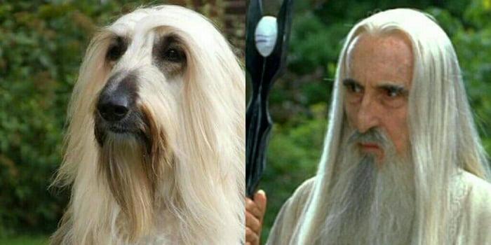 This Dog Totally Looks Like Saruman 9gag
