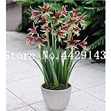 Pinkdose Bonsai 30 PC colorido japonesa Juniper Bonsai mixto de arranque árbol -Juniperus Procumbens & # 39; Nana & # 39; Planta de tiesto absorber gases nocivos: 3
