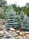Colorado Blue Spruce, Picea pungens Glauca, 100 Semillas de árboles (Hardy Evergreen)