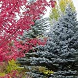 vegherb Semillas Blue Spruce Tree (Picea glauca) Pungens 100 + Semillas