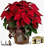 Poinsettia natural, planta tradicional navidad + Ferrero Roche 200 gr. Añade tu dedicatoria