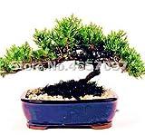 SANHOC Bonsai 100 Piezas de Colores Japonesa Juniper Mixta Bonsai árbol de Arranque Juniperus procumbens Nana Planta de Tiesto en Casa y Jardín: 4