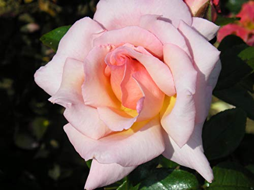 COMPASSION - 5.5lt Potted Climbing Garden Rose - Salmon Pink/Apricot Blend, Fragrant, Repeat Flowering