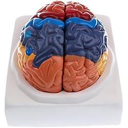 Modelo Anatómico de Cerebral Humano