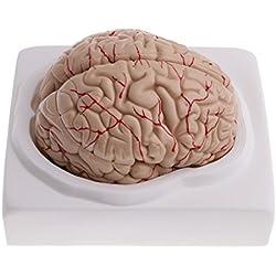 Cerebro Humano para Enseñanza Médica