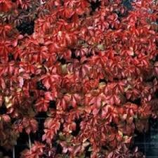 Parthenocissus quinquefolia Red Wall new variety virginia creeper