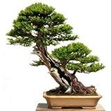HONIC Las Semillas del Paquete: 15 Semillas del árbol Taxus baccata (tejo Semillas Inglés) Bonsai