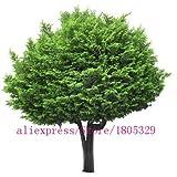 AGROBITS semillas de rboles raros 30 CYPRESS ITALIANO (Cupressus sempervirens) Ãrbol, rbol bonsai para macetas maceta: 4