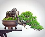 Rojo japonés pino 40 Semillas-Pinus densiflora-Bonsai
