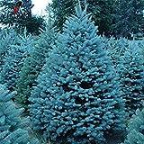 Es Cierto Colorado Blue Spruce Tree Seeds-Picea pungens -Bonsai Plantas en Maceta Semillas de árboles Ornamentales Azules tree10seeds Navidad/Bolsa
