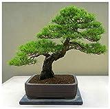 AGROBITS 10 Semillas de Pinus Densiflora, pino rojo de Japón, Semillas Bonsai C