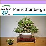 SAFLAX - Pino negro japonés - 30 semillas - Pinus thunbergii
