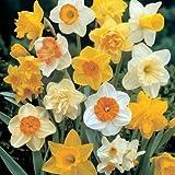 UK-Gardens Pack of 100 Mixed Daffodil Spring Flowering Garden Bulbs REDUCED - Large 12-14cm diameter Narcissi / Narcissus Spring Bulbs Net