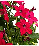 Aimado Seeds Garden-100 Pcs Tabac d'ornement Perfume Red fleurs graines Nicotiana Fleurs odorantes Facile de culture semences Jardin pour terrasse et balcon