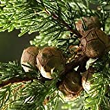 Farmerly Semillas de Monterey Ciprés (Cupressus macrocarpa) + 25 Semillas