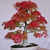 DeYL Semillas Plantas Semillas 30Pcs Árbol de Arce Japonés Acer Palmatum de Plantas de Jardín Bonsai Decoración - Semillas Árbol de Arce Rojo