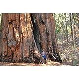 Shoopy Star 50 Semillas: Las semillas japonesas Rojo Pino, Pinus densiflora