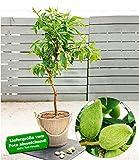 "BALDUR-Garten Süß-Mandel""Nut Me® Almond"", 1 Pflanze Mandelbaum"