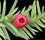 ANVIN Germinación de Las Semillas: Taxus baccata - Tejo Inglés - 20 Semillas Frescas