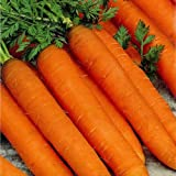 CARROT - RESISTAFLY F1-1300 FINEST SEEDS