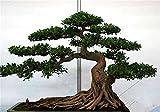 20 PC / bolso semillas de pino negro semillas verdes árboles bonsai planta de Pinus thunbergii Parl para el jardín de plantas leñosas perennes rectas 3
